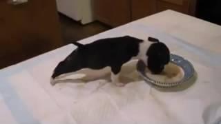 Смешной песик  кутенок пьет молоко. Funny dog.
