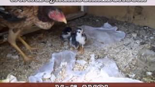 Boynuinceli Tavuk ve Civcivler - Akkum 'da Tavuk ve Civcivler