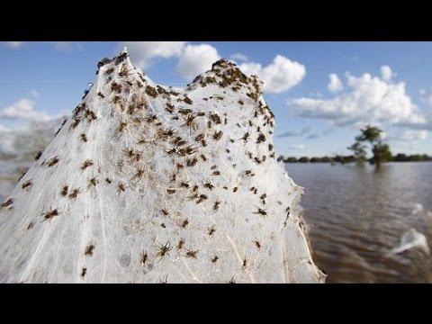 Raining Spiders In Australia Youtube