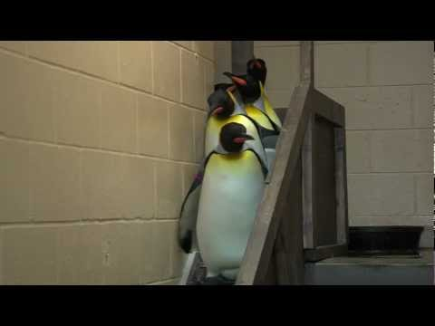 King Penguins Leaving Exhibit - Cincinnati Zoo