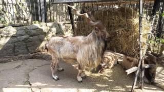 Винторогий козёл и пеликаны