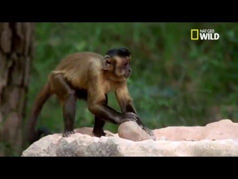 l'intelligence du petit singe