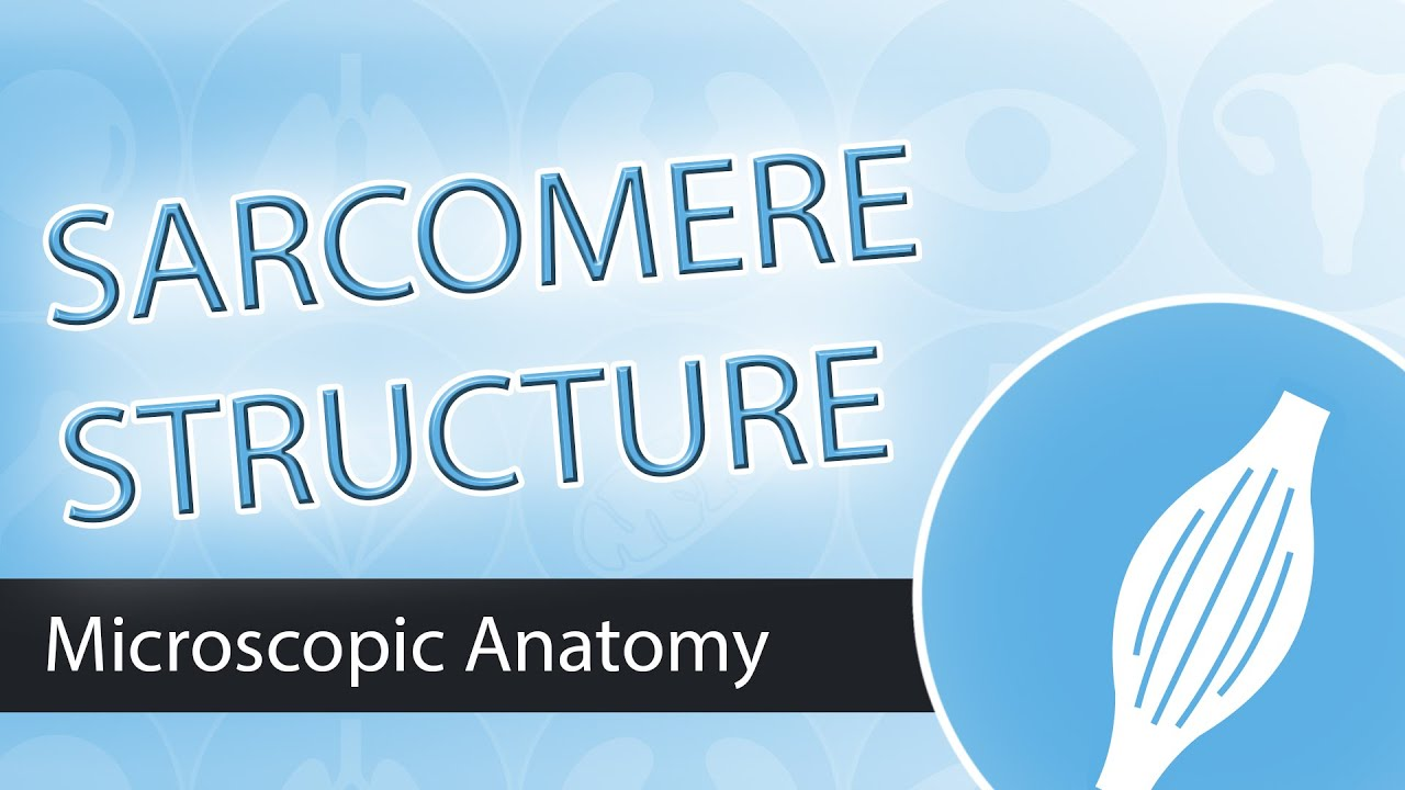 The Sarcomere- Structure and Components - YouTube