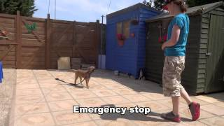 Datsun - Border Terrier - 10 Day Dog Boot Camp At Adolescent Dogs Uk