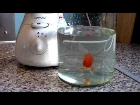 Fish in a blender experiment shocking results youtube for Fish in a blender