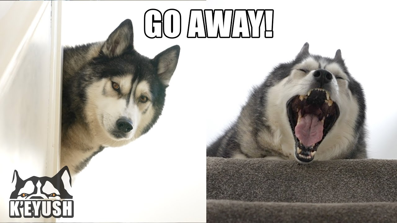 LAZY Husky ARGUES About Getting Out of BED For a Walk!