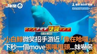 小白鯨招手「像在哈囉」 下秒突然張嘴甩頭把妹妹嚇呆|屏東|動物