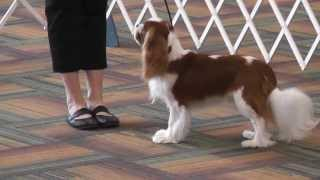 Bluegrass Classic 2013 - Cavalier King Charles Spaniel - 12-18 Month Dog