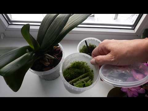 Срезанный цветонос орхидеи растит детку! Размножение фаленопсиса.