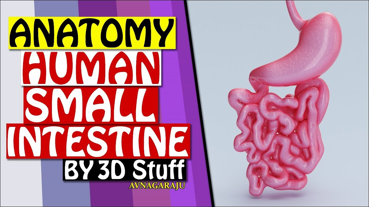 small intestine 3d medical anatomy of stomach - YouTube