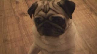 Pug Dog Dancing To Music