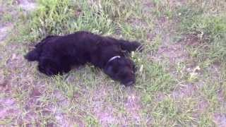 Black American Cocker Spaniel Loves Being Petted