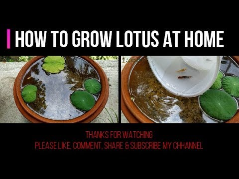 How to Grow Lotus Plant at Home Under 20 Rupee Pot II How to make Pond for Lotus Step by Step