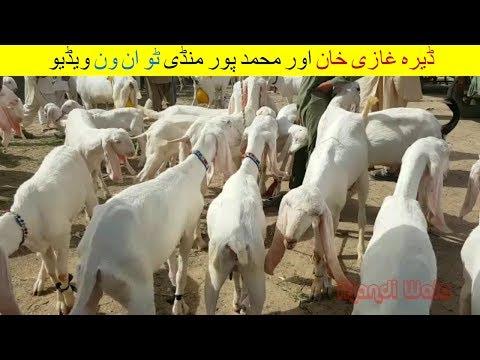 71 | Bakra mandi 2018/2019 Dera Ghazi Khan | Video in Urdu/Hindi | Goat Farming