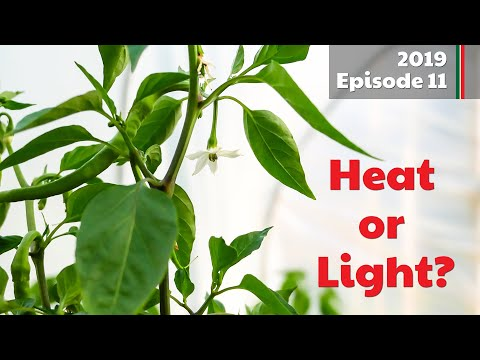 Heat or Light? Whats more important for Chilli growth? (2019.E11 Garden Updates)