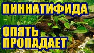 Пропадает Гигрофила Пиннатифида. Аквариумные растения не растут. Аквариум для начинающих