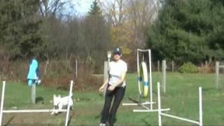 Zulu The Bull Terrier And Jane Killion Agility Practice 11 15 09