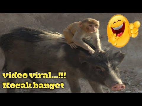 Monyet naik babi.... 👍 👍 👍 👍