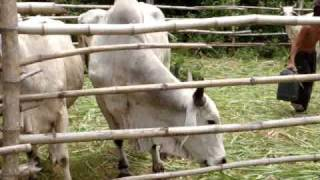 Masbate Philippines Cow Ranch