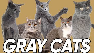 3 Great Facts About Gray Cats!