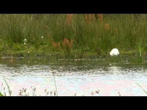 Little Egret Fishing At Radipole Lake RSPB Reserve