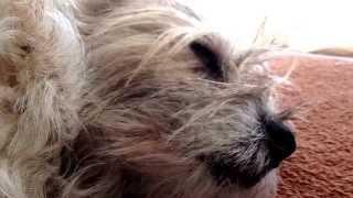 Snoring Border Terrier