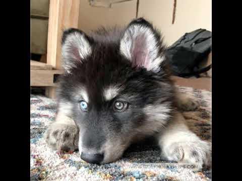 Wolf Dog Puppy Updates