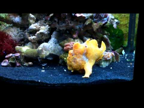 Frogfish Angler Fish Eating Using Its Lure