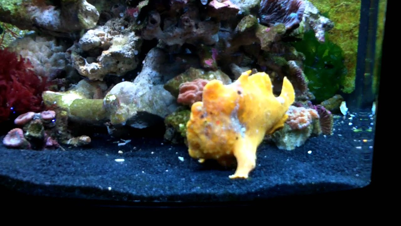 Frogfish angler fish eating using its lure youtube for Angler fish pet