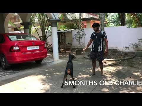 Indian Doberman pinscher(Latin American Orgin) 5 months old Male dog