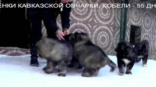Щенки кавказской овчарки. www.r-risk.ru +79262205603 Татьяна Ягодкина.