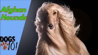Dog 101  Afghan Hound