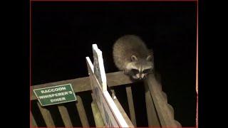Thursday Raccoons baby