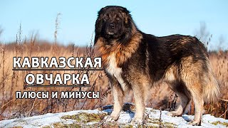 CAUCASIAN SHEPHERD DOG. Pros and cons of the breed