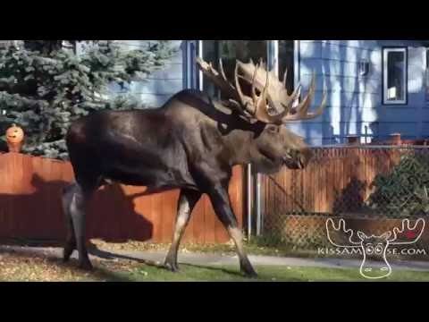 Moose on the Loose in Anchorage, Alaska