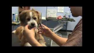 How To Groom A Mixed Breed (terrier Cut) - Part 1