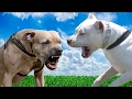 Pitbull vs Dogo Argentino - Difference Explained [Mr Friend]