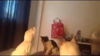 Попугай троллит котов