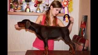 Продажа щенков породы Доберман