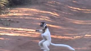 Dancing Lemurs, Madagascar