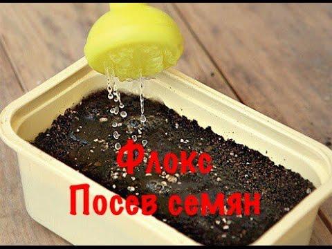 ФЛОКС ОДНОЛЕТНИЙ. ПОСЕВ СЕМЯН ФЛОКСА НА РАССАДУ.