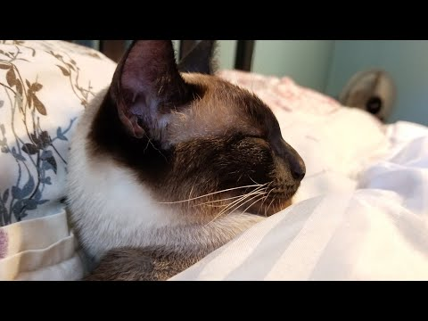 "🍃 Relaxing Cute Siamese Cat ""Bradley"" Sleeping In Sun 4k Video - Sound of Purring"