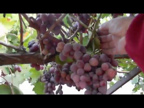 Table Grape Vine Growing