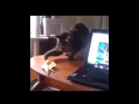 Cat vs Banana – Best Funny Cat Vine
