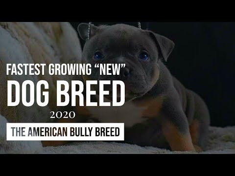 THE FASTEST GROWING NEW DOG BREED 2019: THE AMERICAN BULLY
