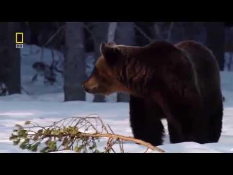 Russia Nature Documentary 2015   Beautiful Wildlife of Siberia Tiger, Husky