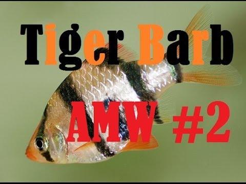 Tiger Barb Care (AMW ep. 2)