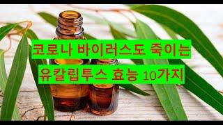 코로나 바이러스도 죽이는 유칼립투스 효능 10가지