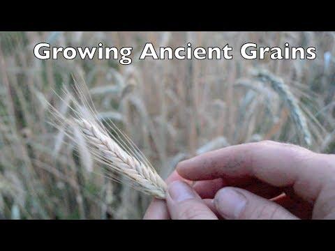 Growing Ancient Grains In Your Garden.
