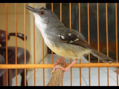 Suara Burung Cici Merah, Cici Sawah, Cici Meong Ngeplong Untuk Masteran Burung Anda